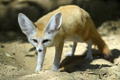 fennec狐狸 图库摄影