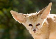 fennec αλεπού Στοκ εικόνες με δικαίωμα ελεύθερης χρήσης