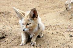 fennec αλεπού Στοκ φωτογραφία με δικαίωμα ελεύθερης χρήσης