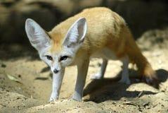 fennec αλεπού Στοκ Φωτογραφία