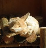 Fennec. A sleeping fennec in a wood house Stock Images