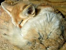 Fennec. A sleeping fennec in a wood house Royalty Free Stock Photos
