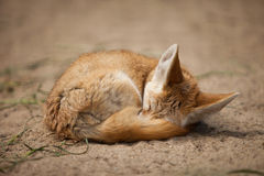 Fennec Royalty Free Stock Images