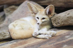 Fennec Royalty Free Stock Photography
