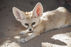 Fennec desert fox lying down Royalty Free Stock Photos