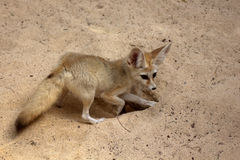 Fennec digging. Fennec Fox digging hole in desert sand Royalty Free Stock Images