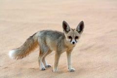 Fennec Fox在空白沙漠 免版税图库摄影