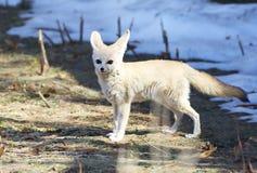 Fennec Fox 库存图片