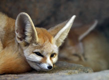 Fennec Fox Royalty Free Stock Image