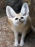 Fennec Fox. Bat-like ears help cool this desert fox.  Text space above, and left side Stock Photos