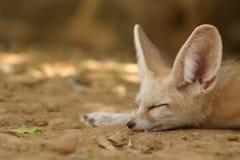 Fennec fox Stock Images