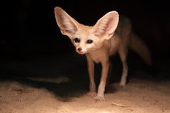 Fennec fox Royalty Free Stock Photography