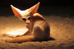 Fennec fox Royalty Free Stock Photo