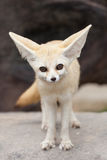 Fennec Fox Stockbild