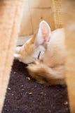 Fennec Fox Stockbilder