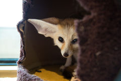 Fennec Fox Stockfotos