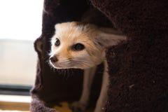 Fennec Fox Stockfoto