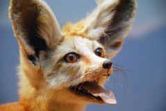 Fennec Fox. The Fennec Fox (Vulpes zerda) is a small nocturnal fox found in the Sahara Desert of North Africa which has distinctive very large ears.  This is a Royalty Free Stock Image