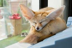 Fennec Fox 图库摄影