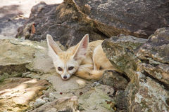 Fennec Fox. Animal fox nature  wildlife zoo Royalty Free Stock Photo