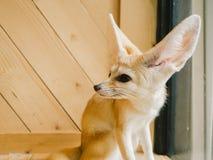 Fennec fox as a pet. Stock Images