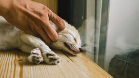 Fennec fox as a pet. Royalty Free Stock Photos