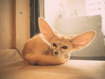 Fennec fox as a pet. Stock Image