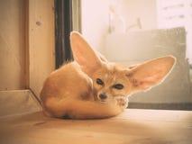 Fennec fox as a pet. Stock Image