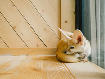 Fennec fox as a pet. Royalty Free Stock Image