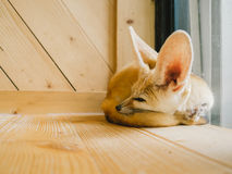 Fennec fox as a pet. Stock Photos