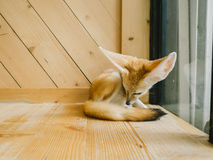 Fennec fox as a pet. Royalty Free Stock Photography
