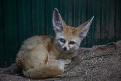 Fennec Fox. Beautiful fennec fox staring with 2 different coloured eyes Stock Photo