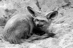 Fennec Fox Stock Photos