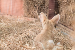 Fennec fox or Desert fox Royalty Free Stock Photography