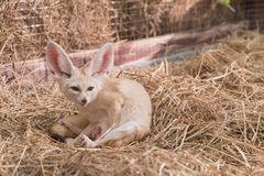 Fennec fox or Desert fox Royalty Free Stock Images