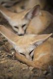 Fennec fox or Desert fox sleeping on the ground. Stock Photo
