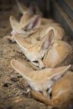 Fennec fox or Desert fox sleeping on the ground. Stock Photos
