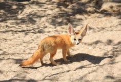 Fennec Fox Stock Image