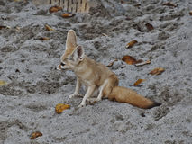 Fennec fox Stock Photography