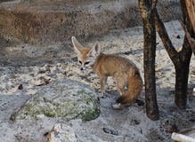 Fennec fox Stock Photo
