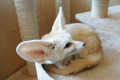 Fennec fox or fennec vulpes zerda is a small nocturnal fox found in the Sahara of North Africa. Their large ears, which are like Stock Photography