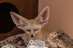 Fennec fox. Fennek carefully observed the Environment Stock Images