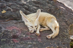 Fennec Fox. Fox habitat predator  wildlife zoo Royalty Free Stock Photos