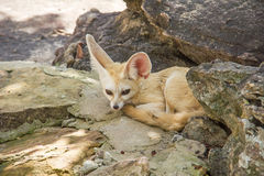 Fennec Fox. Fox habitat predator  wildlife zoo Stock Images