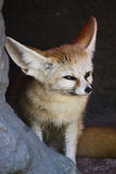 A Fennec Fox hiding in the cave royalty free stock photos