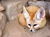 Fennec fox lying Stock Image