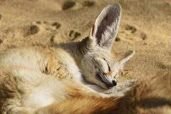 Fennec fox napping in the winter sunlight. Royalty Free Stock Photo