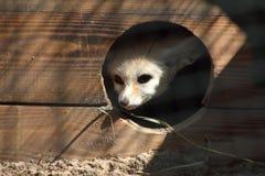Fennec fox Royalty Free Stock Photography