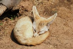 Fennec Fox. The Fennec Fox is one of the smallest canine animal in the world, such as the size of the cat. In order to protect the foot on the soft sandy land of stock photos