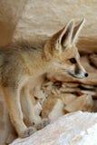 A Fennec Fox Portrait Stock Images